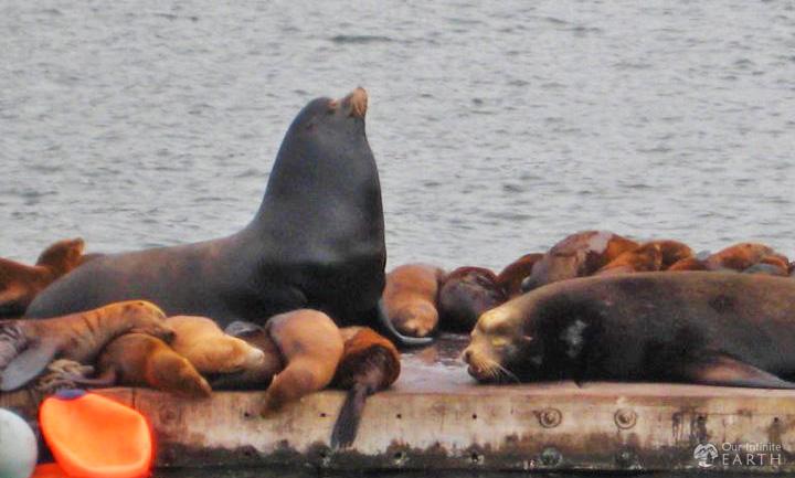 Elkhorn-Slough-sea-lions
