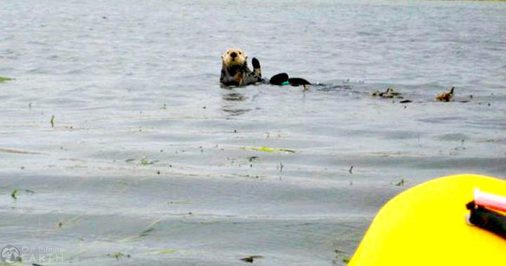 Elkhorn-Slough-sea-otters