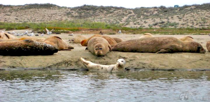 Elkhorn-Slough-seals