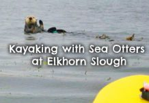 kayaking-Elkhorn-Slough-sea-otters