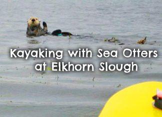 kayaking-Elkhorn-Slough-sea-otters