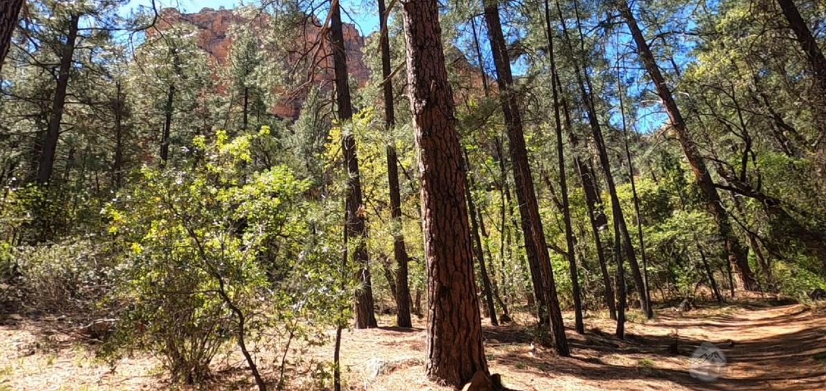 boynton-canyon-trees
